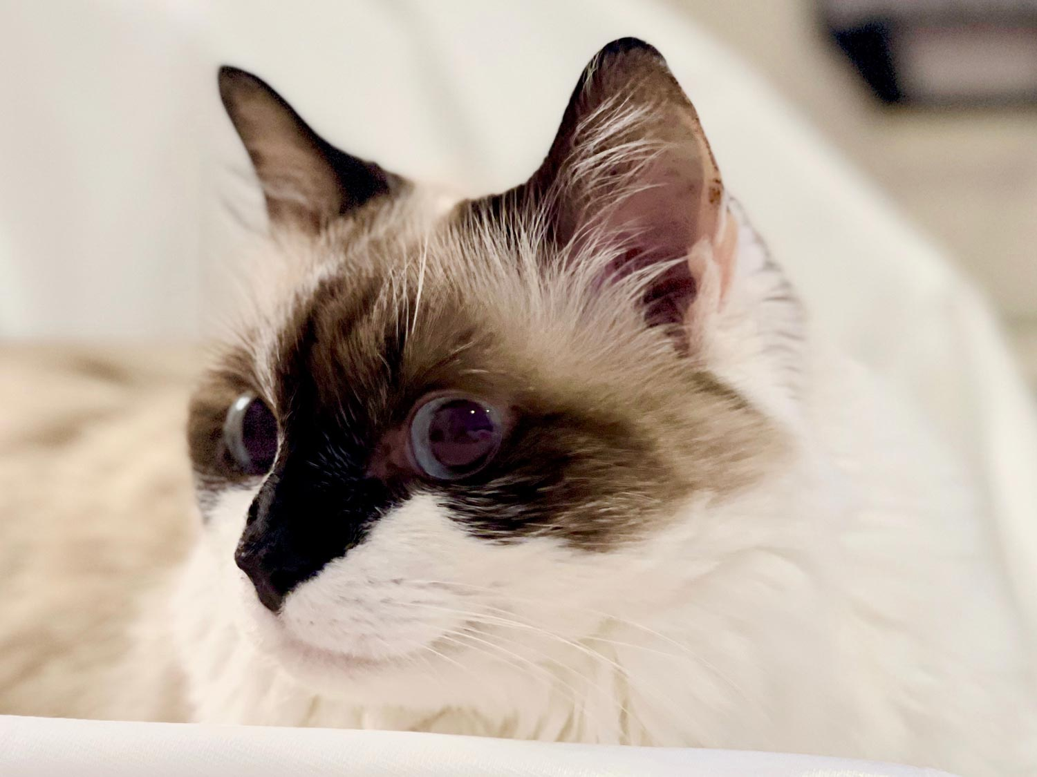 Ragdoll Cat Cost: What to Expect When you Own a Ragdoll Cat