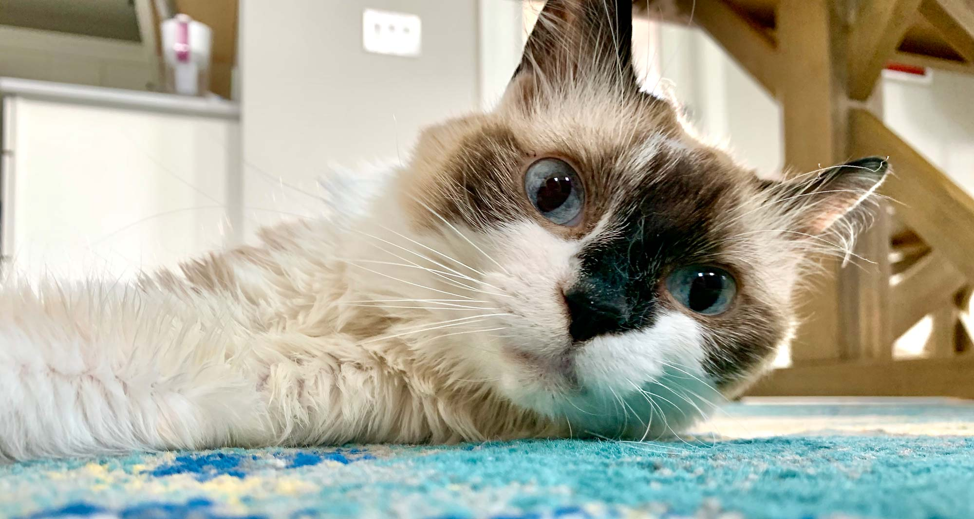 Nystagmus in Cats, What it Looks Like